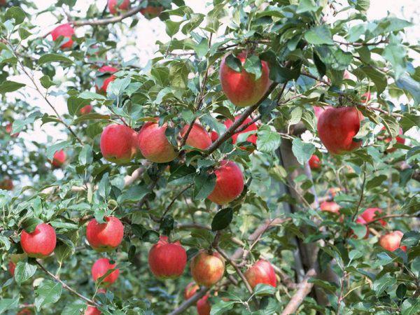 Mơ thấy cây táo là điềm báo điều gì?