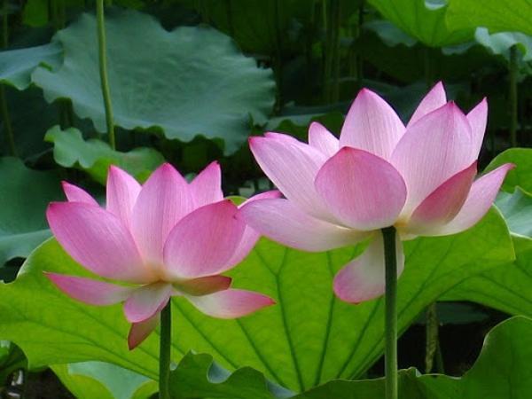 Mơ thấy hoa sen là điềm báo gì?