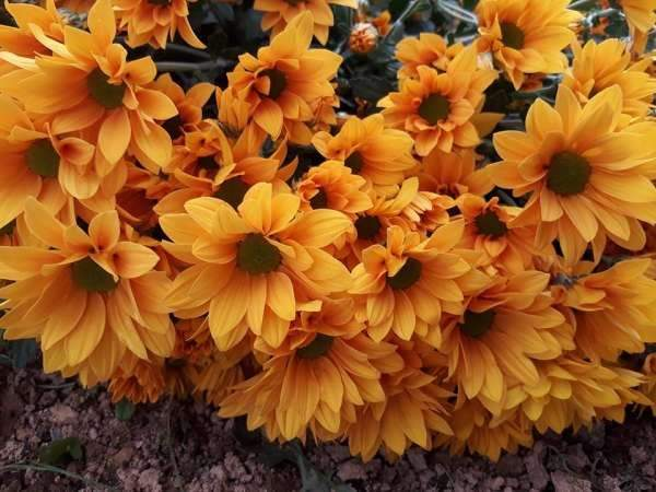 Mơ thấy hoa cúc đánh con gì?