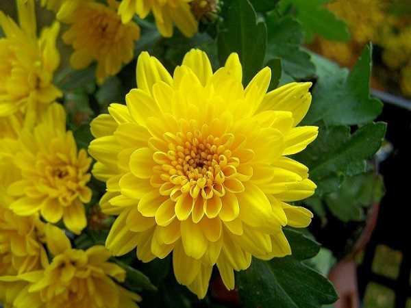 Ý nghĩa giấc mơ thấy hoa cúc