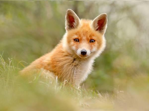 Mơ thấy con cáo đánh con xổ số nào chắc ăn nhất?