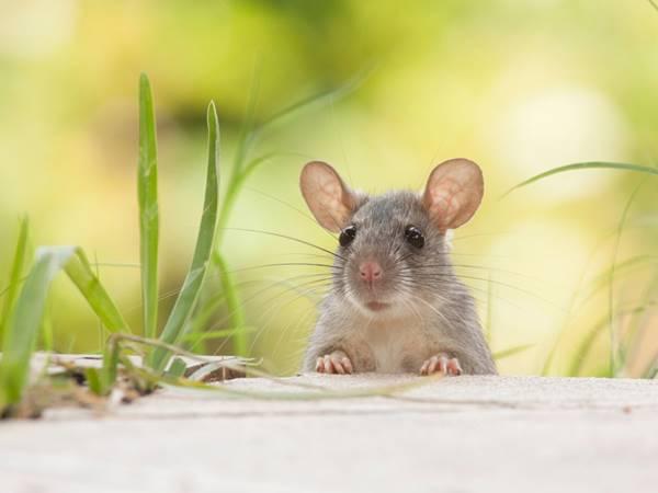Mơ thấy con chuột là điềm hên hay xui? Đánh con gì?