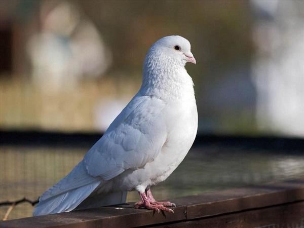 Nằm mơ thấy chim bồ câu đánh con gì ăn chắc dễ trúng