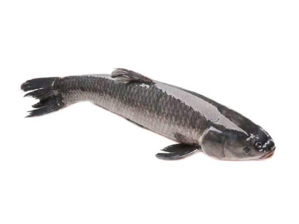 Mơ thấy cá lóc điềm báo lành hay dữ?