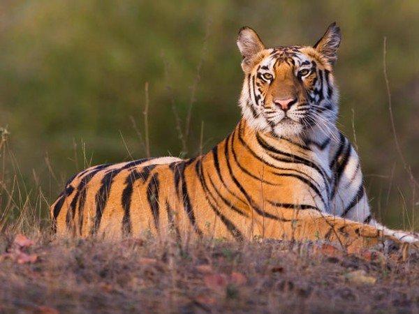 Nằm mơ thấy con hổ đánh xổ số con gì dễ trúng