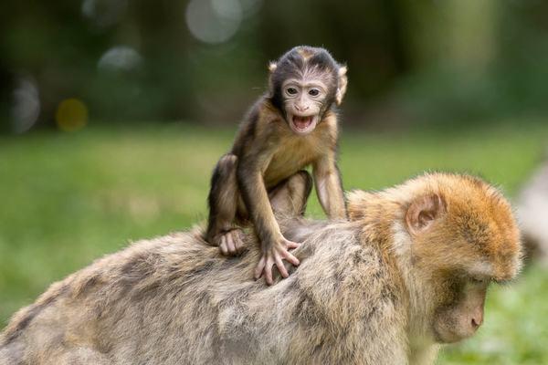 Mơ thấy con khỉ điềm báo gì đánh con số gì thì chắc trúng