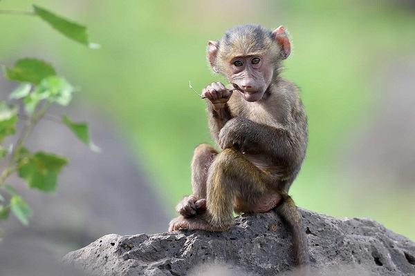 nằm mơ thấy khỉ đánh con gì