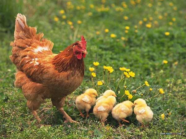 Nằm mơ thấy gà có ý nghĩa điềm báo gì, đánh con gì dễ trúng