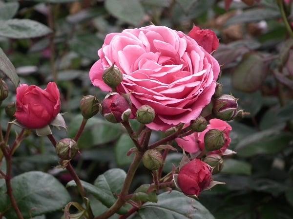 Mơ thấy hoa hồng điềm báo lành hay dữ?