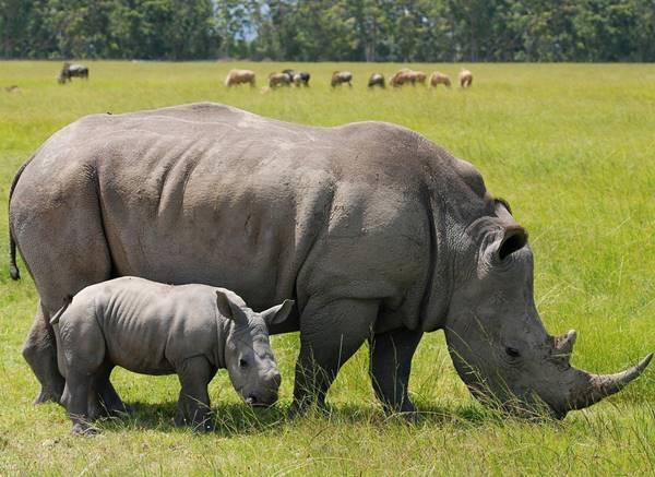 Giả mã bí ẩn giấc mơ ngủ thấy con tê giác là điềm báo gì