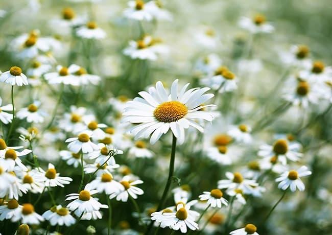 Giải mã giấc mơ - Mơ thấy hoa cúc đánh số gì?
