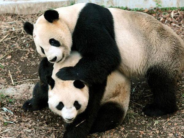 Nằm mơ thấy con gấu đánh con gì ăn chắc- Là điềm gì? Giải mã nằm mơ thấy gấu đen, gấu bông, gấu trúc, gấu trắng, bị gấu đuổi cùng bộ số lô đề Gấu chính xác 100% với tỷ lệ trúng lớn